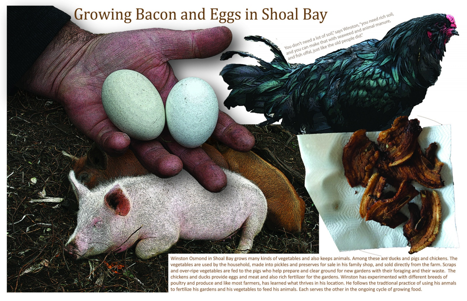 Growing Bacon and Eggs in Shoal Bay