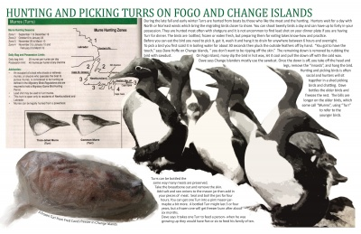 Hunting and Picking Turrs on Fogo and Change Islands