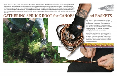 Gathering Spruce Root for Canoes and Baskets